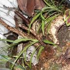 Spirostreptus spec.1 und Dendrostreptus macracanthus Terrarium