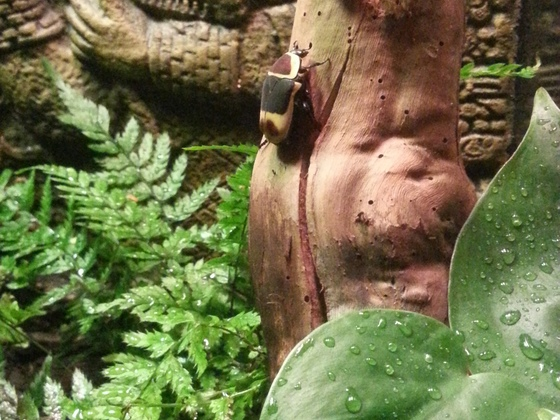 Rosenkäfer im Mayatal
