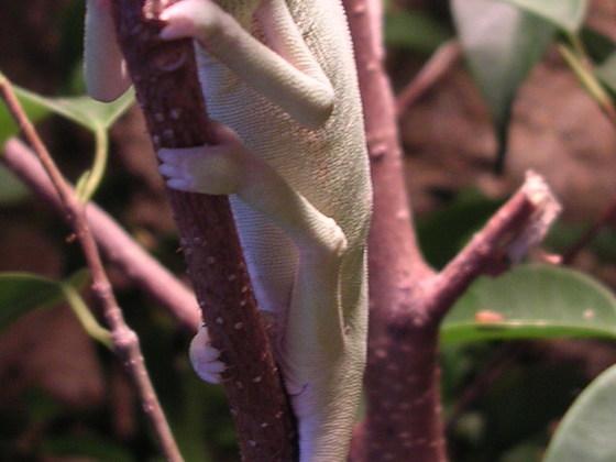 Jemenchameleon