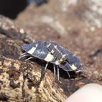 """Armadillidiidae spec. """"Thai"""""""