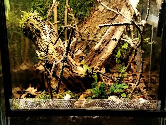 Centrobolus splendidus/Porcellio expansus Terrarium