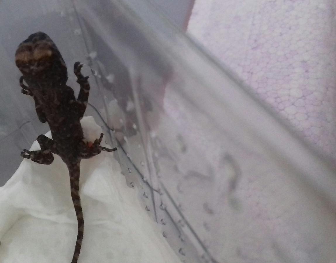 """0,0,1 Acanthosaura armata """"Thailand"""" nach dem Schlupf"""