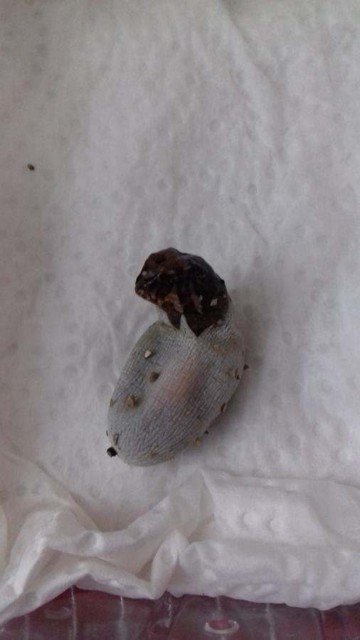 """0,0,1 Acanthosaura armata """"Thailand"""" beim Schlupf"""