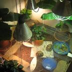 Strahlenschildkröten (Astrochelys radiata)