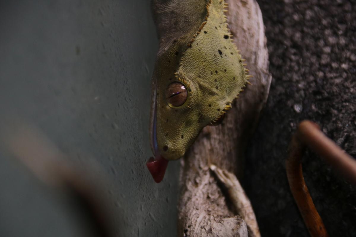 Correlophus ciliatus nach dem Besprühen