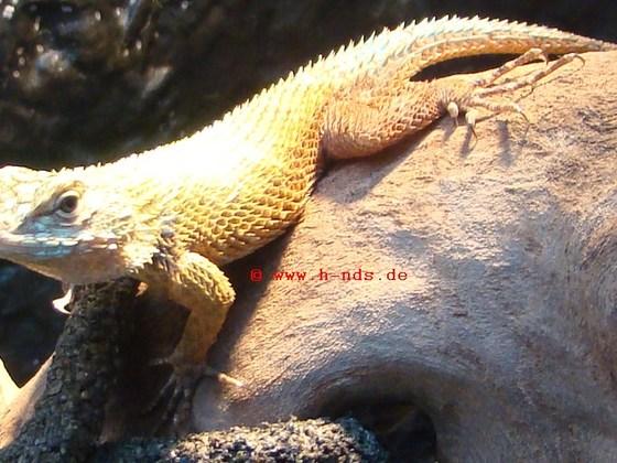 Sceloporus malachiticus - Malachit-Stachelleguan
