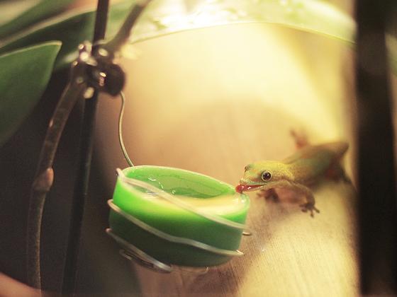 Phelsuma laticauda angularis Jungtier am Honig schlecken