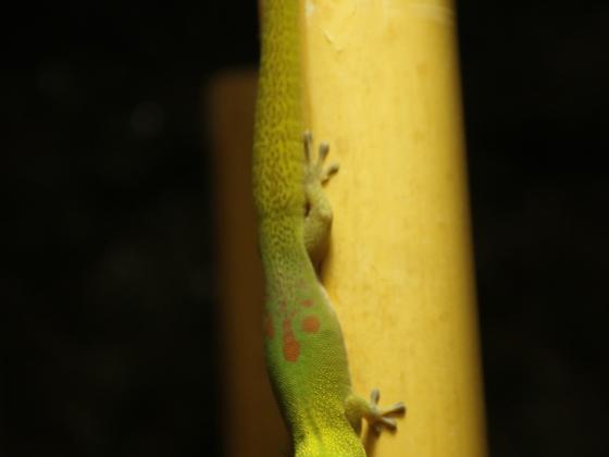 Phelsuma laticauda laticauda