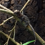 "Acanthosaura armata ""Thailand"" 3 Tage alt"