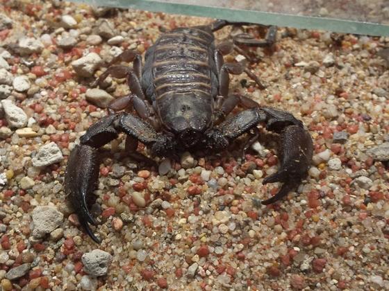 Skorpion im Berliner Zoo