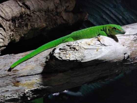 Gecko hat nach Verbrennung am Schwanz etwas schwarzes an der Unterseite... Was ist das ?