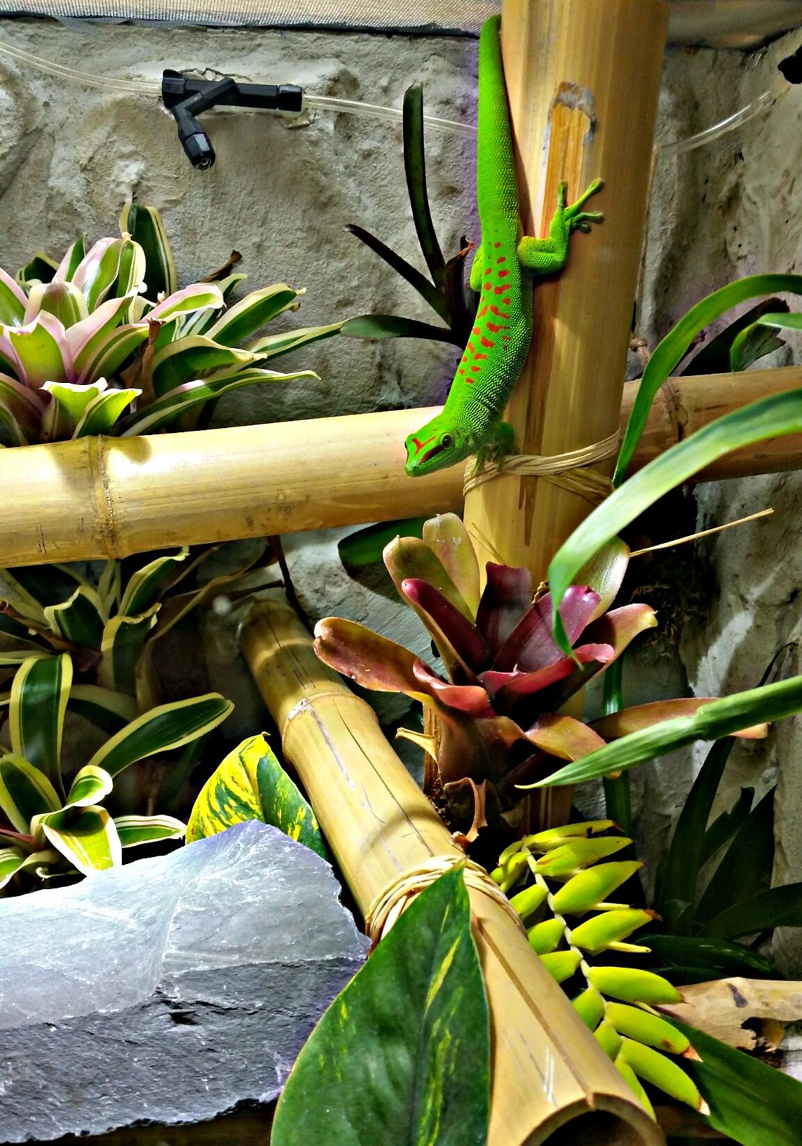 Phelsuma Grandis im Terrarium