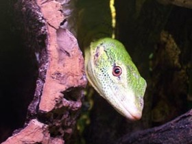 Varanus prasinus
