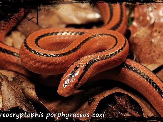 Oreocryptophis porphyraceus coxi