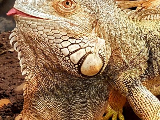 1.0 Iguana iguana Portrait