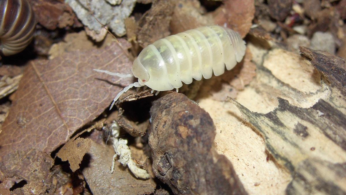 Armadillidium spec. Albino