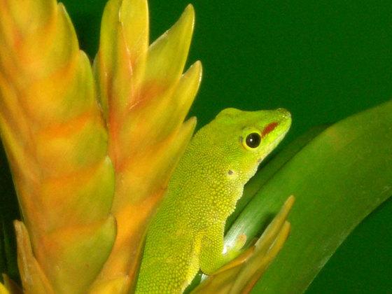 Phelsuma madagascariensis grandis 4
