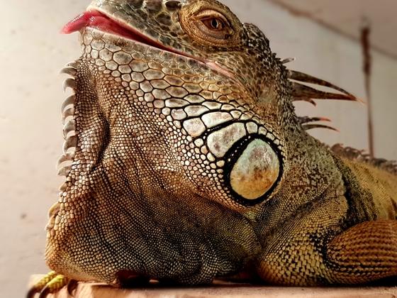 Iguana iguana, adultes Männchen