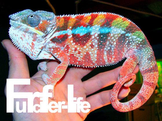 Furcifer pardalis Pantherchamäleon Tamatave Robert