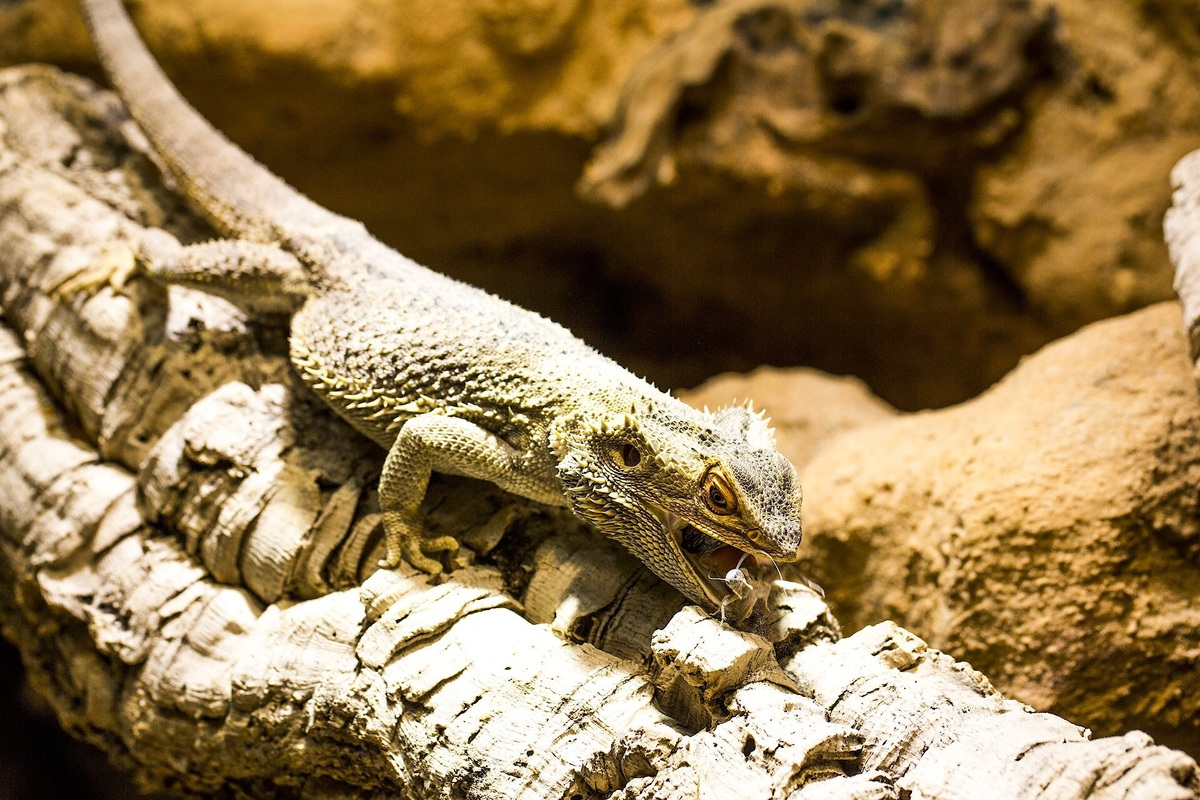 Pogona Vitticeps frisst Heuschrecke