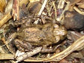 Tarnung des Frosches in England^^