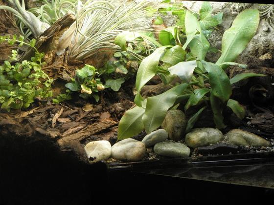 Aquaterrarium Indischer Ochsenfrosch