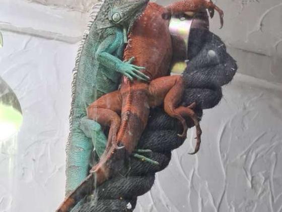 Leguan grün und rot
