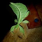 Phyllium Phillipinicum