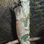 1,0 Acanthosaura lepidogaster CB17