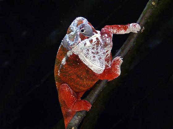das tollste rote Chamäleon der Welt!