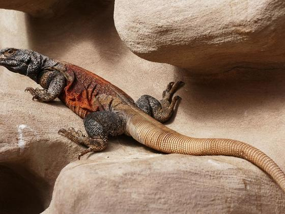 Chuckwalla (Sauromalus ater) Red Back