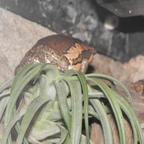 Indischer Ochsenfrosch klettert