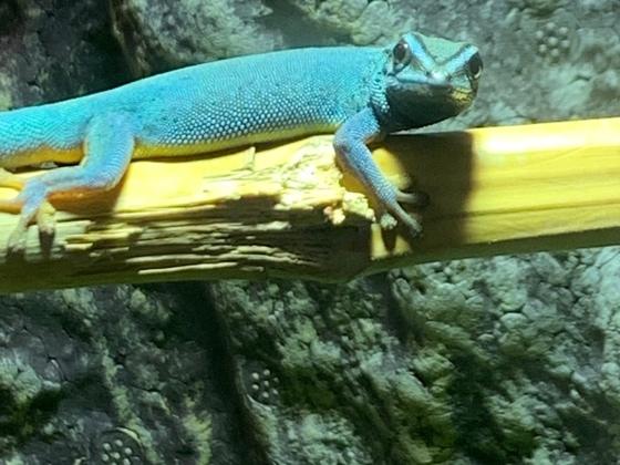1.0 Lygodactylus williamsi