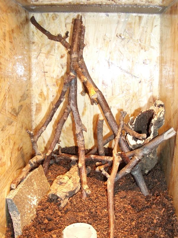 Chromatopelma cyaneopubescens Terrarium