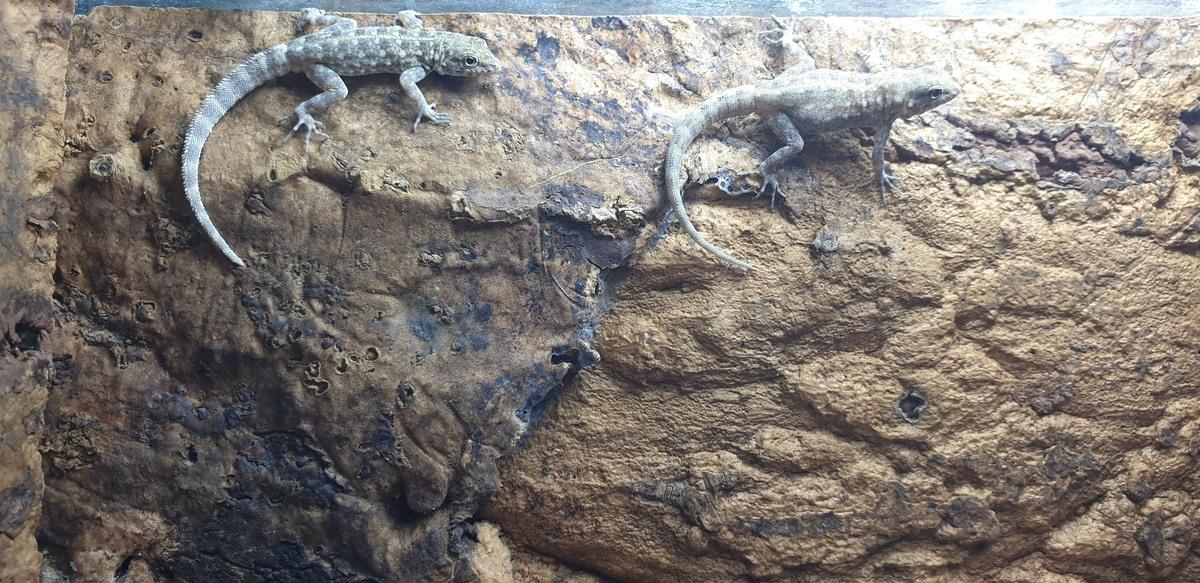 1.1 Pristurus rupestris
