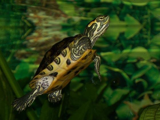 Cumberland Schmuckschildkröte