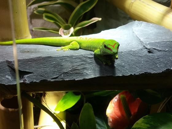 Phelsuma grandis auf dem Bauchwärmer
