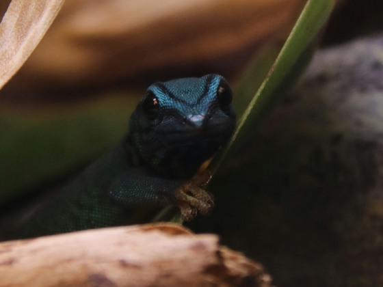 Lygodactylus williamsi
