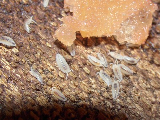 Trichorhina tomentosa