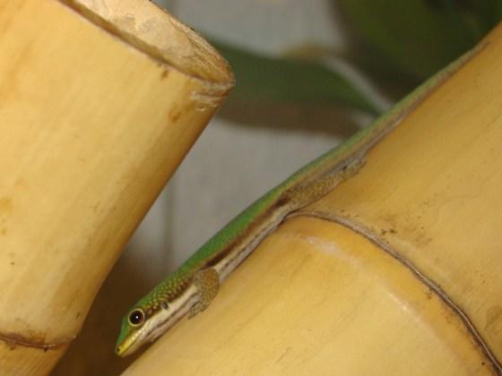 Phelsuma lineata elanthana