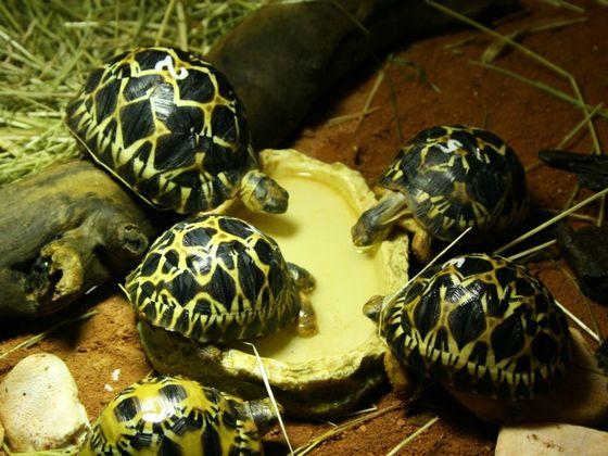 Strahlenschildkröte (Astrochelys radiata)