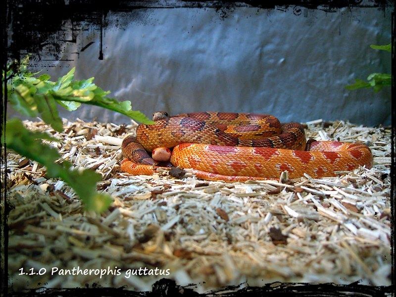1.1.0 Pantherophis guttatus