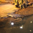 Alligator mississippiensis im Reptilium Landau
