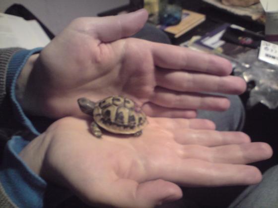 Mini-Mandi, Griech. Landschildkröte