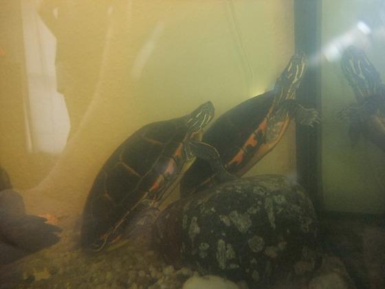Shiggy & Chi Chi, Südl. Zierschildkröte