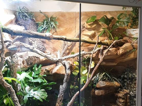 Terrarium Varanus cumingi