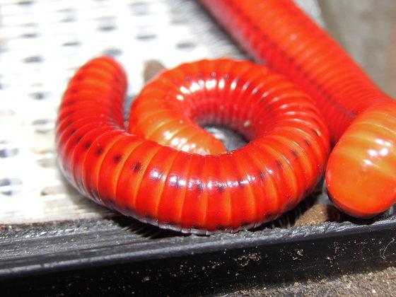 Centrobolus ruber vulpines
