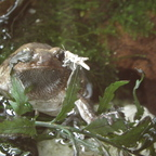 Indischer Ochsenfrosch