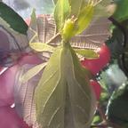 Phyllium phillipinicum Weibchen