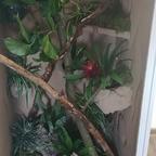 Grobe Einrichtung - Terrarium Phelsuma Grandis